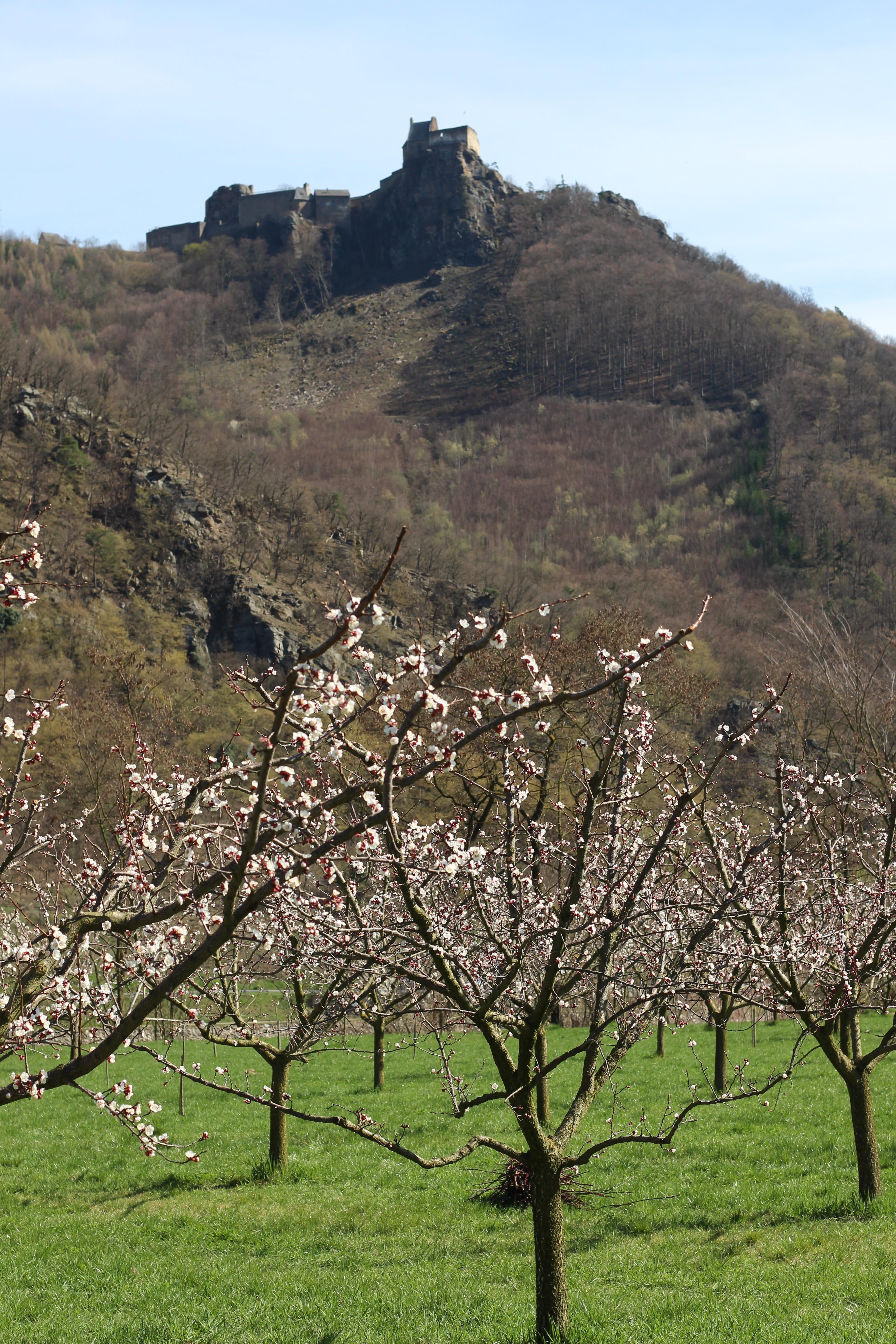 Burg Aggstein Marillenblüte