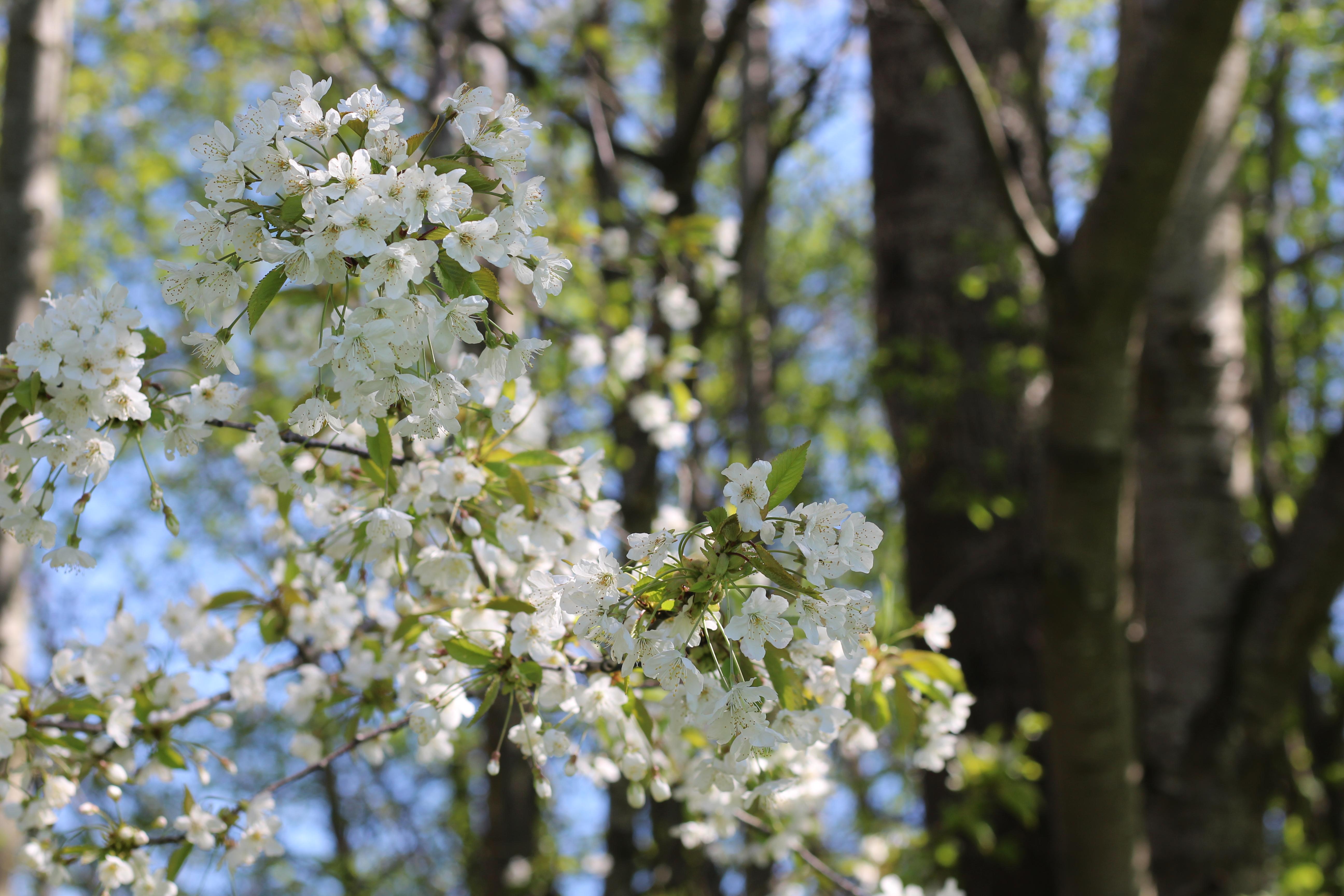 Mostbaum Blüte