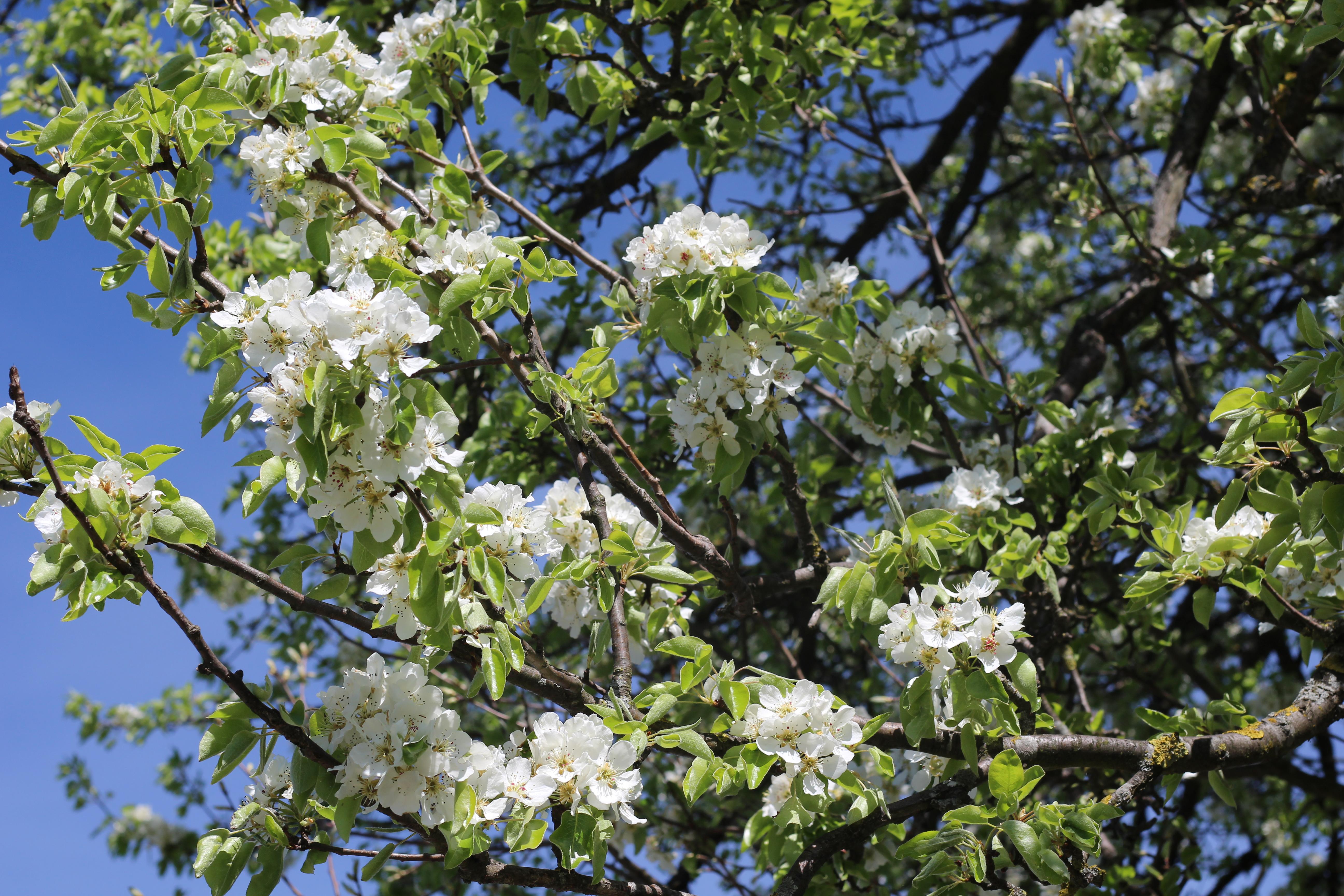 Mostviertel Baumblüte