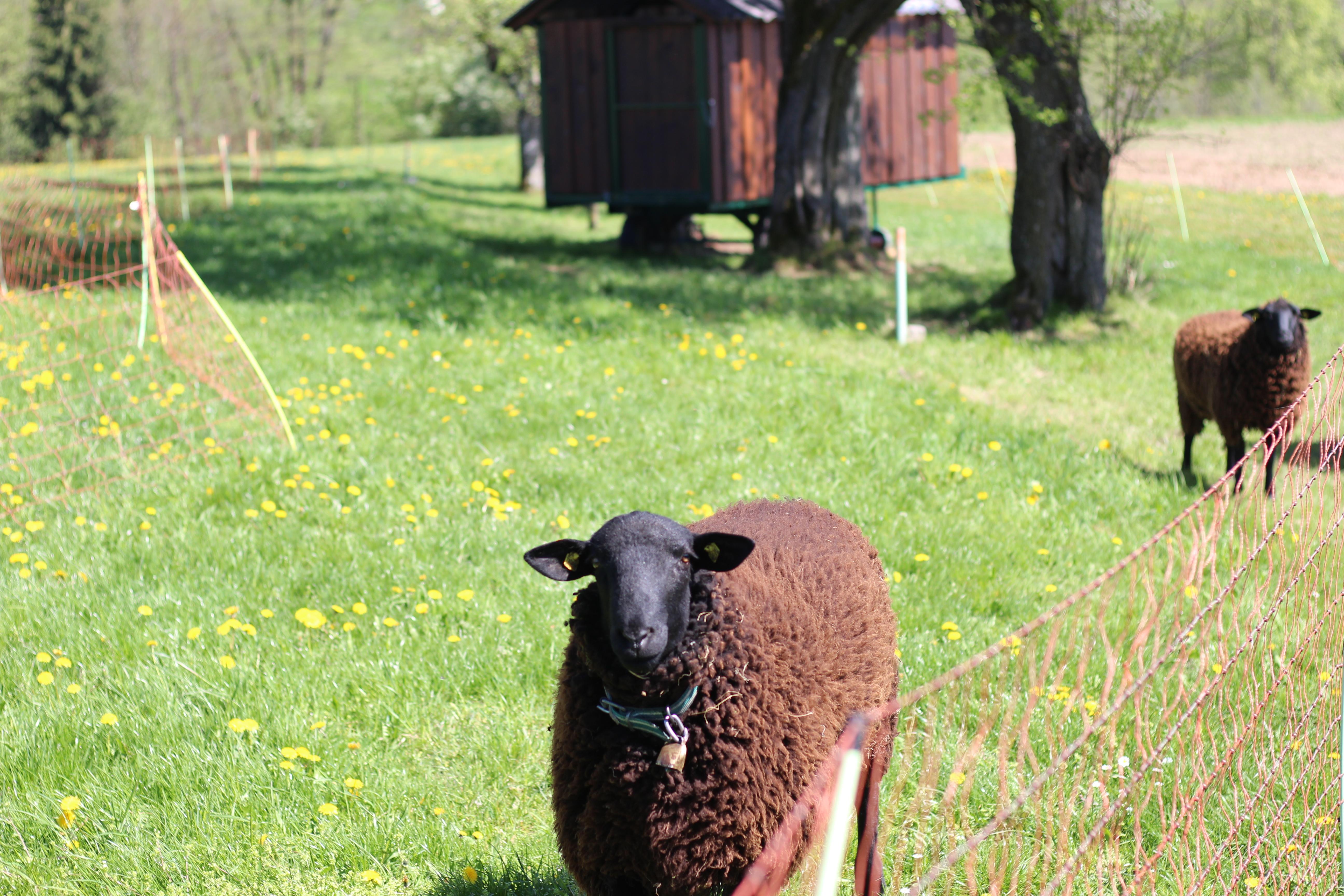 Mostviertel Schafe