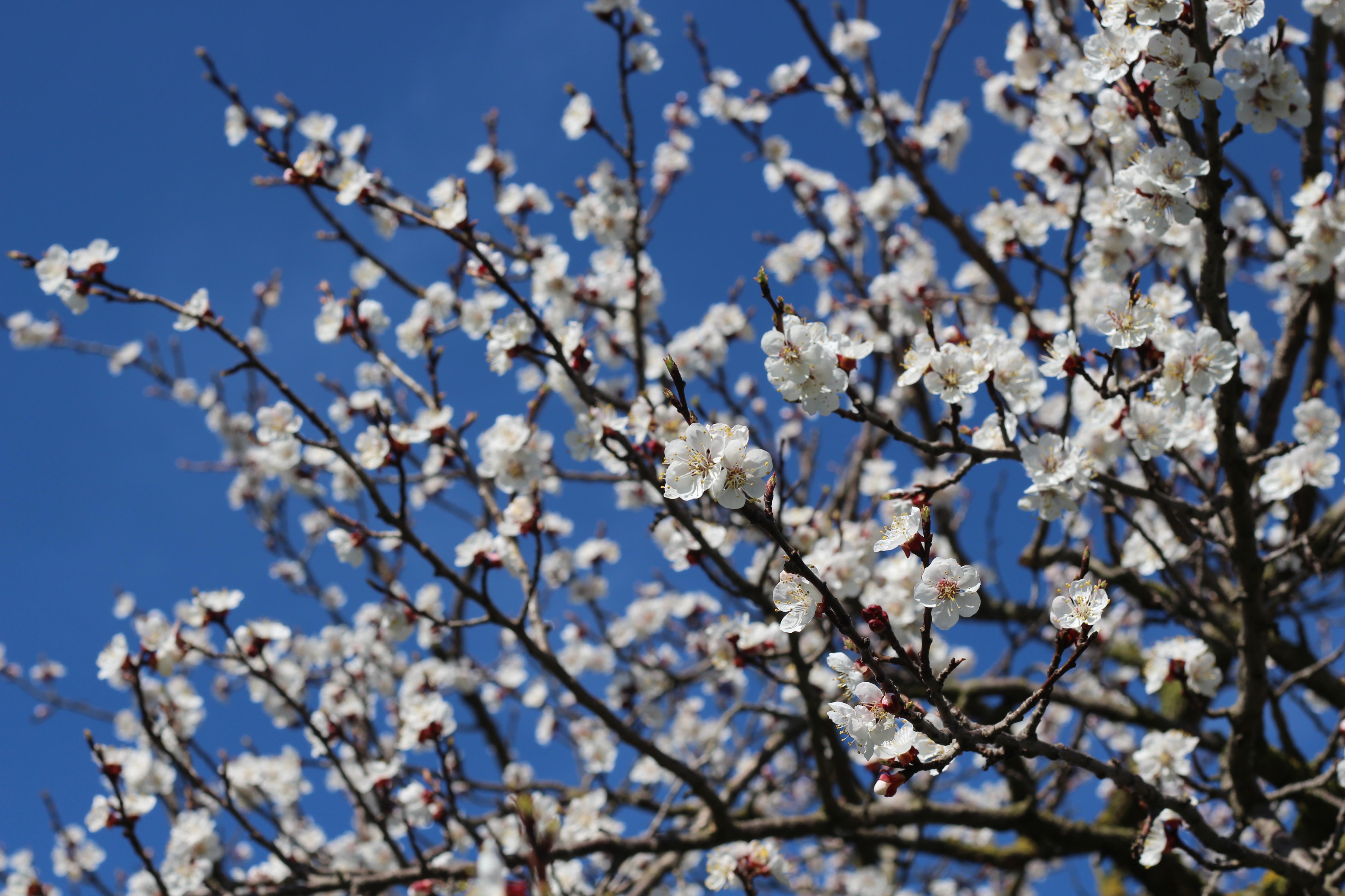 Wachau Marillenblüte Baumkrone