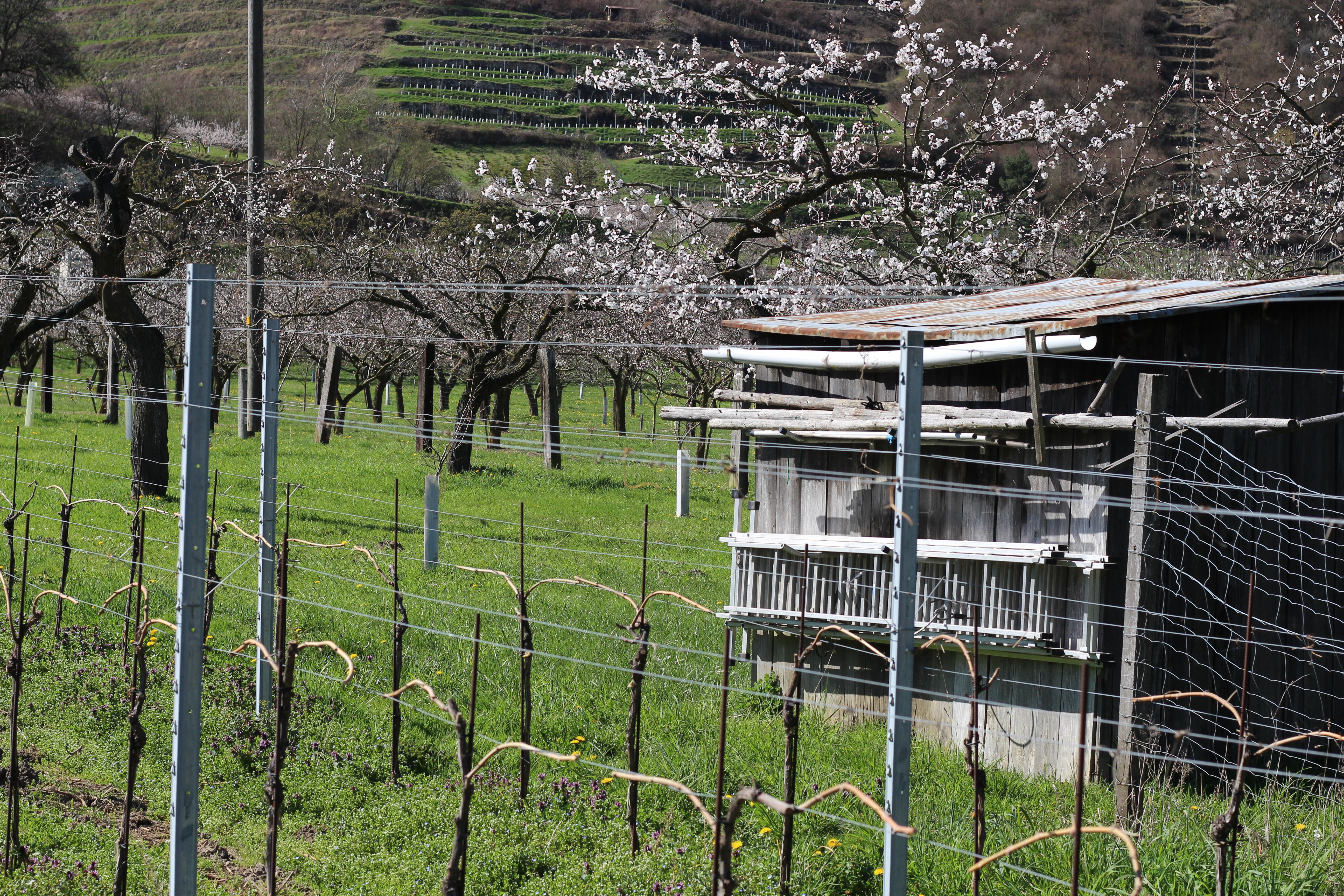 Wachau Marillenblüte Scheune