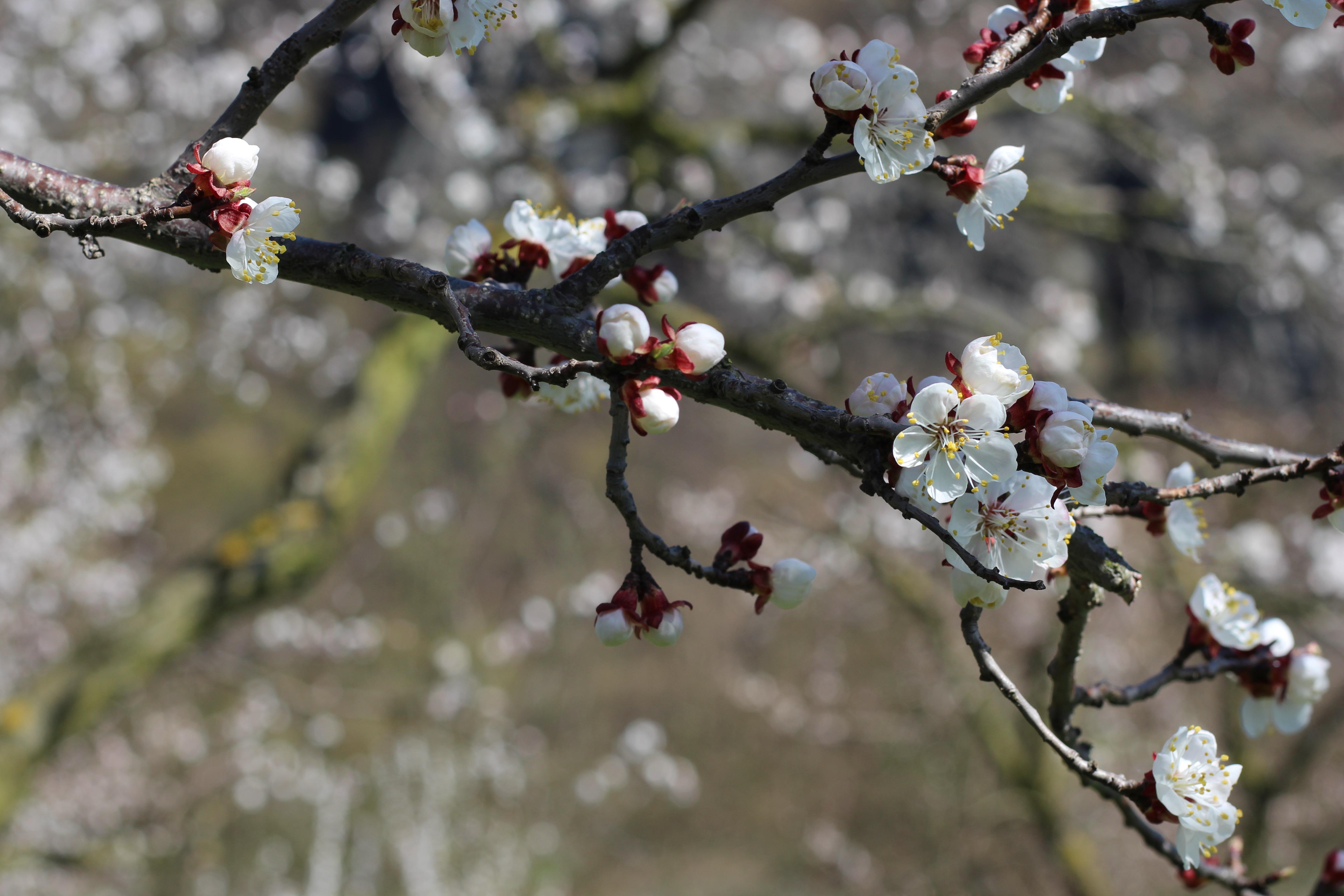 Wachau Marillenblüte Zweig