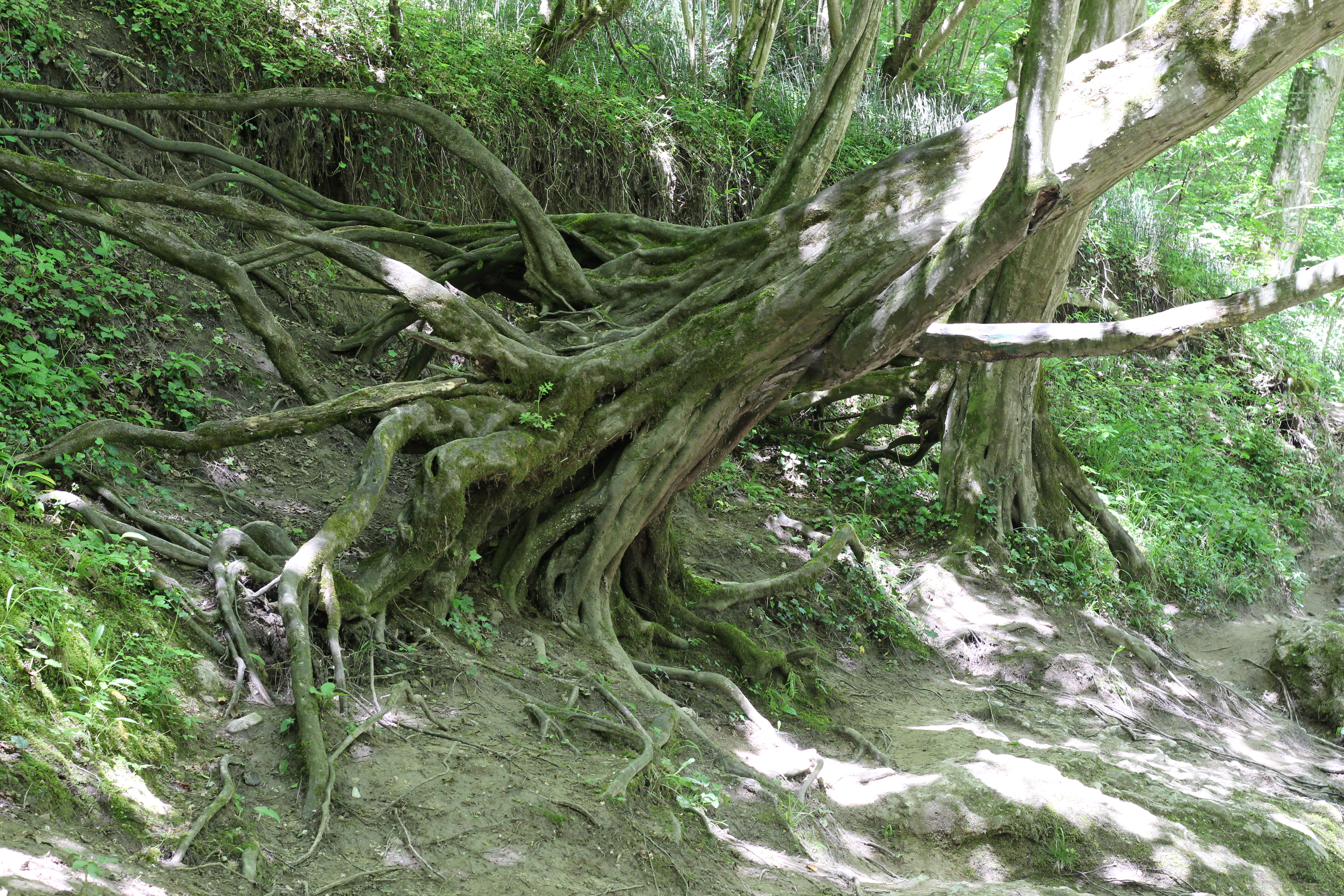 Bäume erlaufschlucht (23)