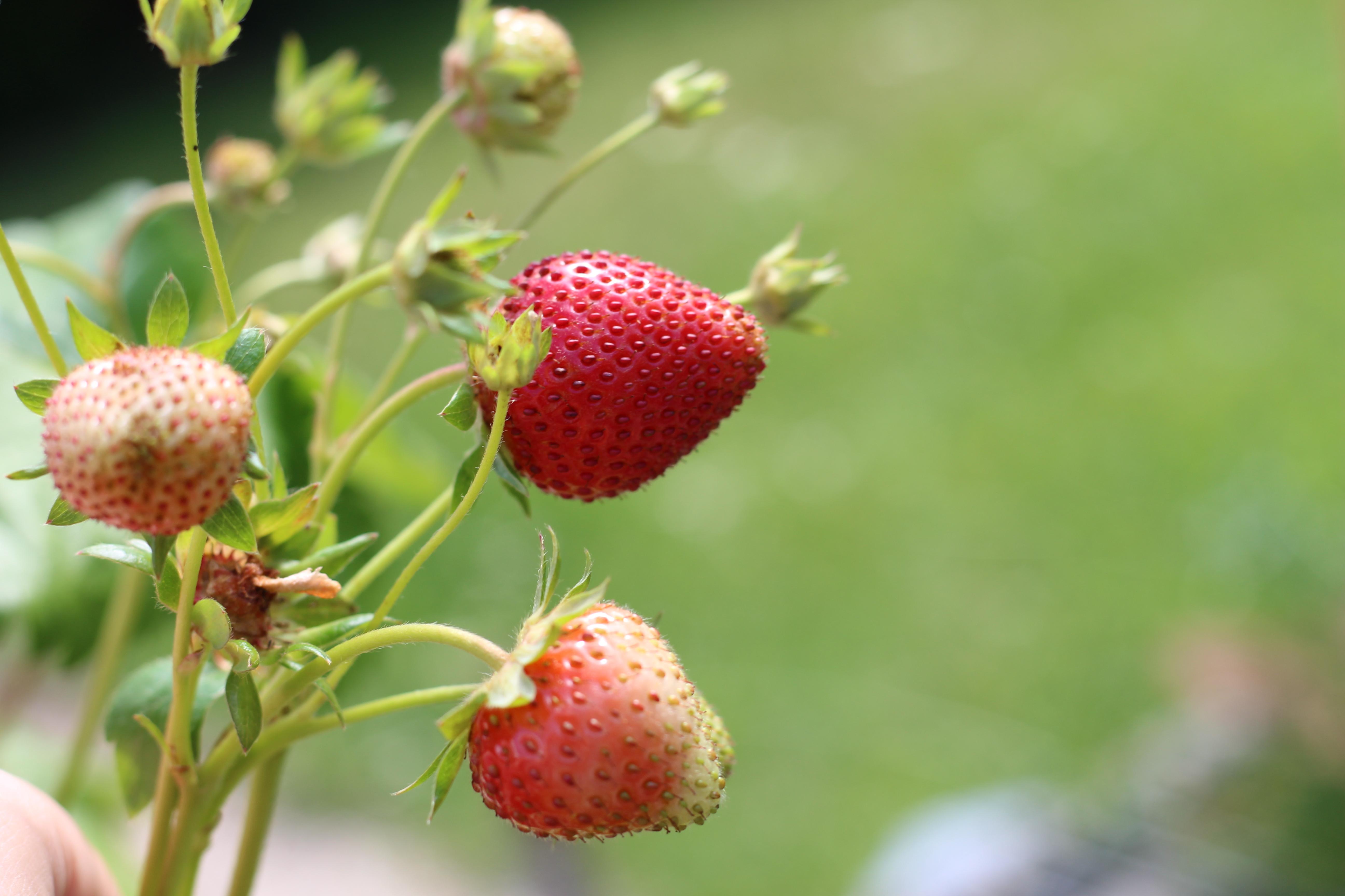Mamas Garten Erdbeeren