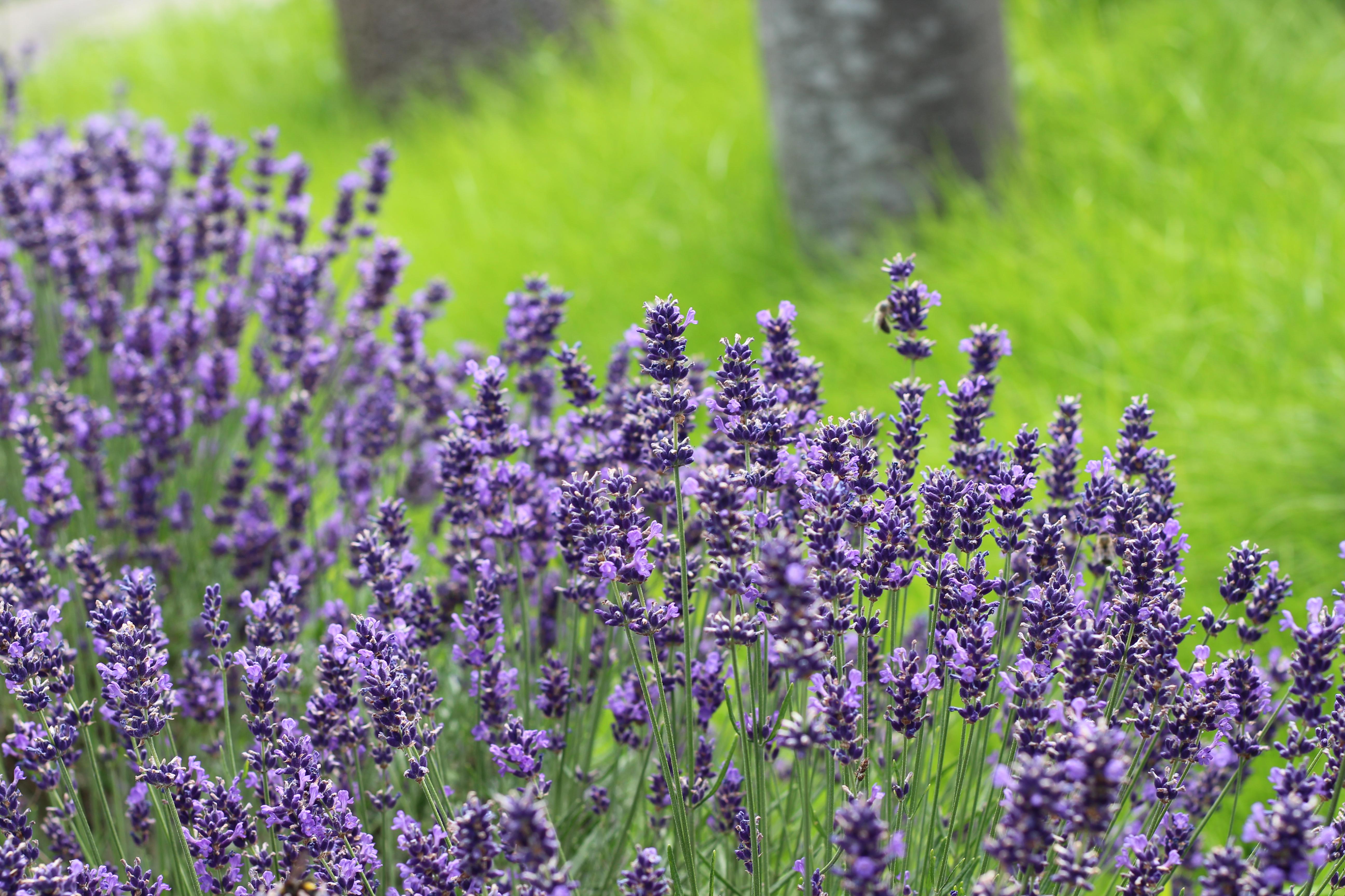 Mamas Garten Lavendel