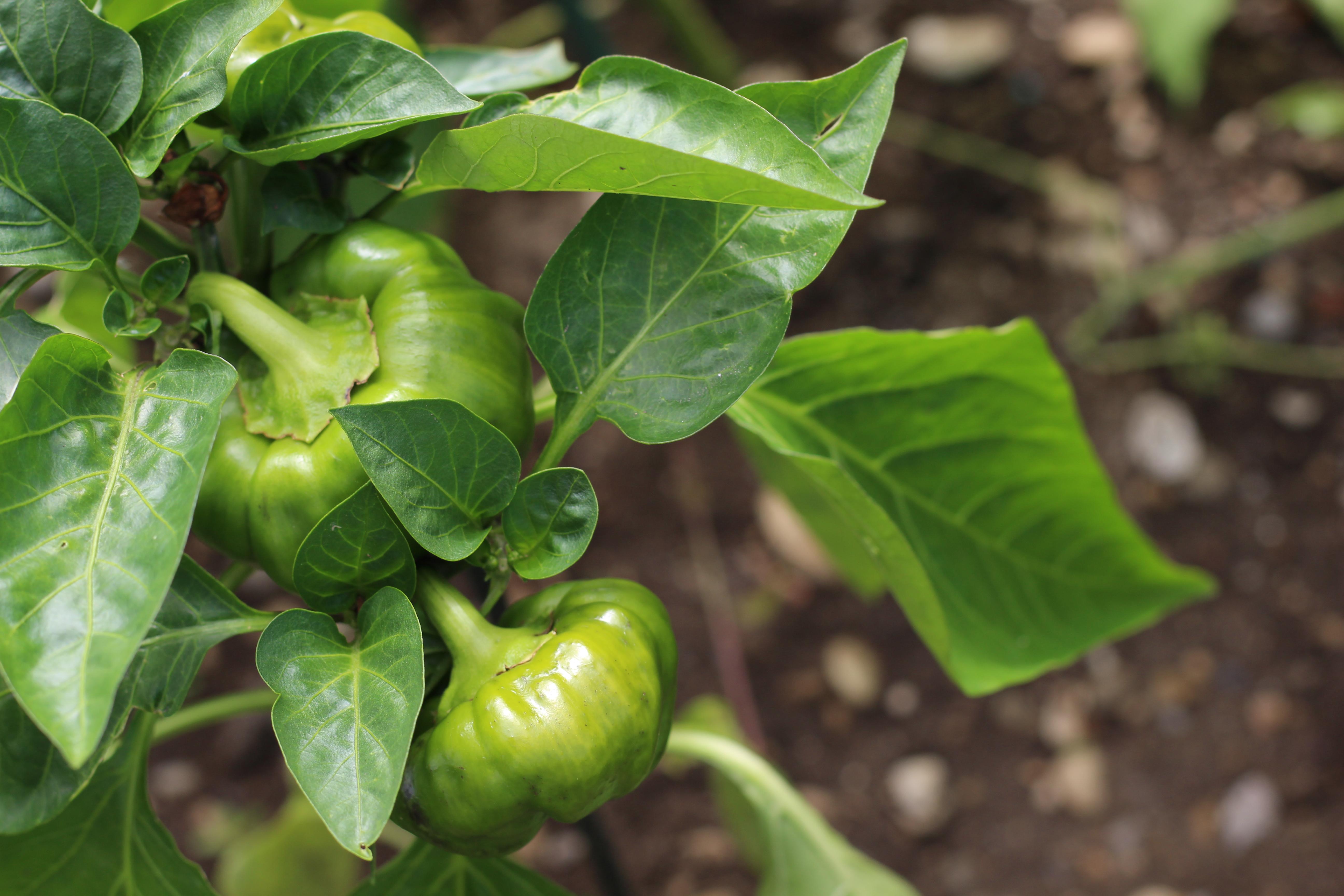Mamas Garten Paprika