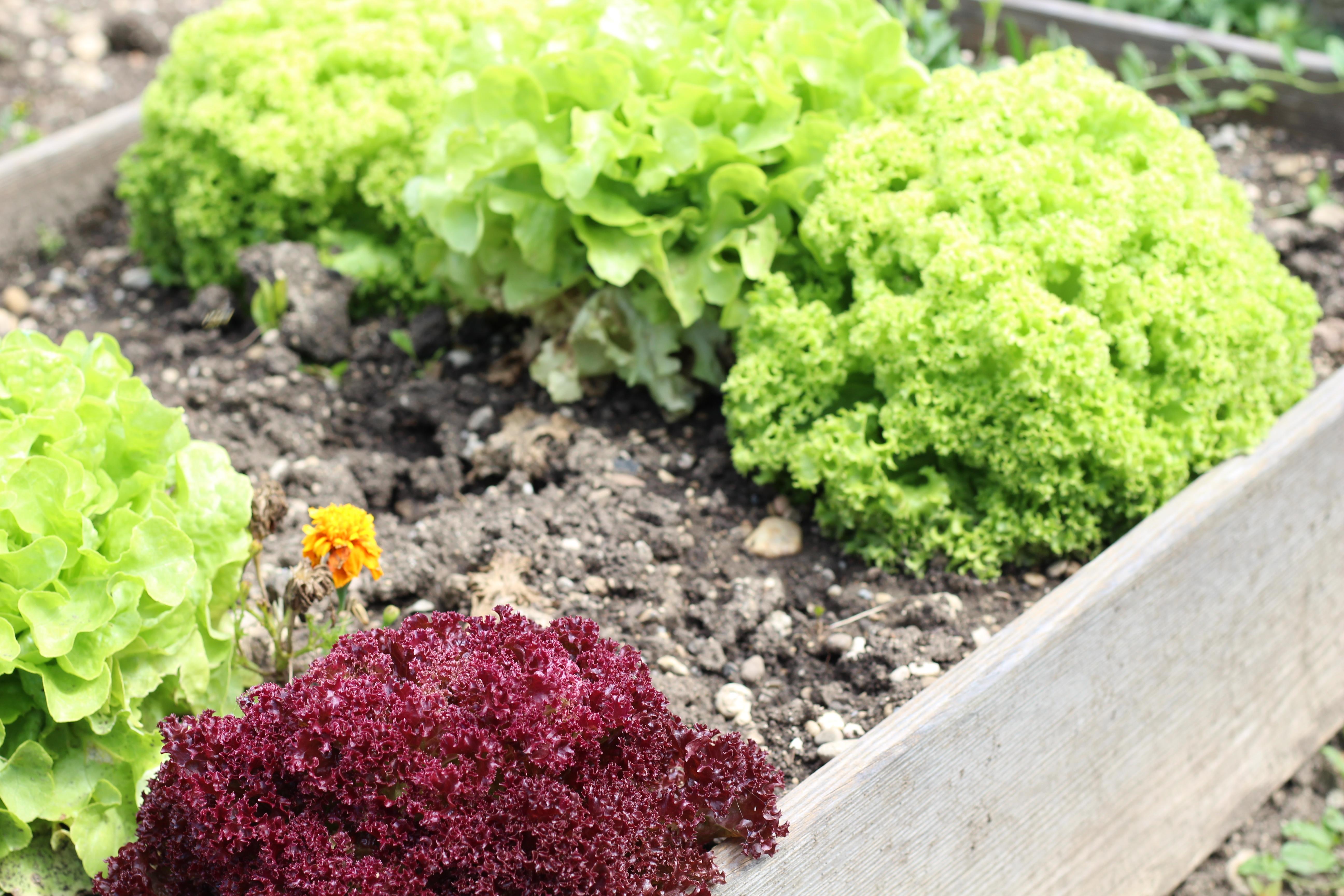 Mamas Garten Salat